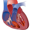 Сердце – Кровообращение - Сосуды
