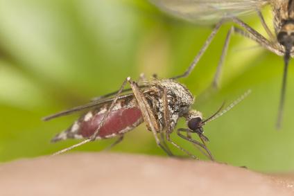 Der Erreger der Malaria wird durch die Anopheles Mücke übertragen