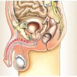 Erektile Dysfunktion - Erektionsstörung - Impotenz