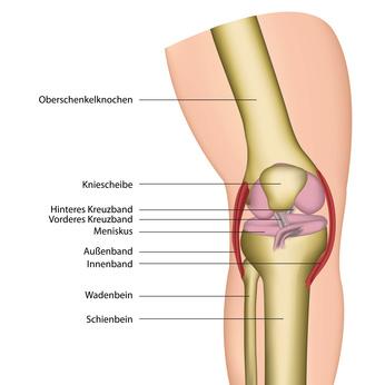 Die Knie-Seitenbänder sorgen für die Stabilität des Gelenkes