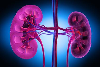 Die Niere ist ein paarweise vorhandenes, bohnenförmiges Organ
