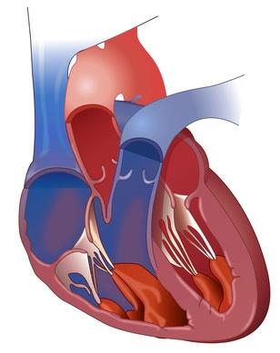 Das gesunde Herz pumpt regelmäßig Blut in den Körper