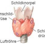 Die Nebenschilddrüse besteht aus vier einzelnen Drüsen