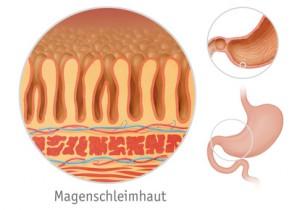 Der Magen wird durch eine Schleimhaut geschützt