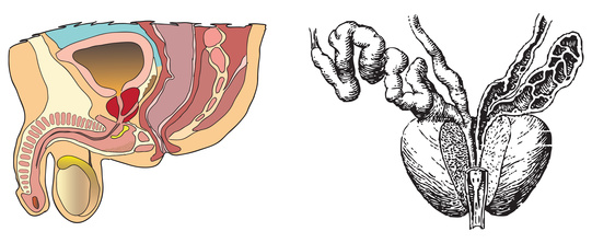 Die Prostata befindet sich unter der Harnblase